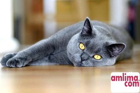 Британські кішки - догляд за пухнастими аристократами