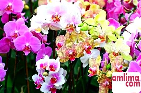 Що робити, якщо у орхідеї жовтіє листя
