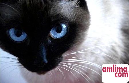 Цистит у кішок - причини, симптоми і лікування