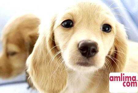 Цистит у собак, або Як пережити цю неприємність