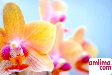 Цвітіння орхідей: можливі проблеми