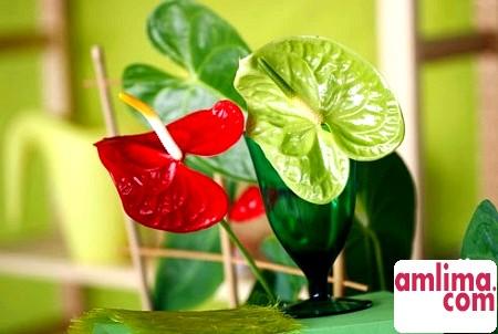Домашній антуріум: чорніє листя? Лікуємо рослина