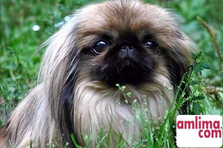 Гламурні собачки - вічна любов чи данина моді