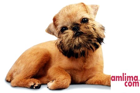Грифон - собака з «моторчиком»