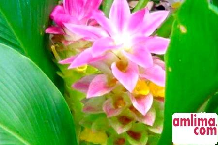 Імбир: вирощування вдома і в саду