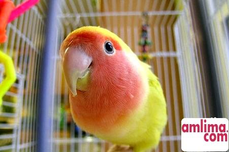 Як навчити папугу розмовляти?