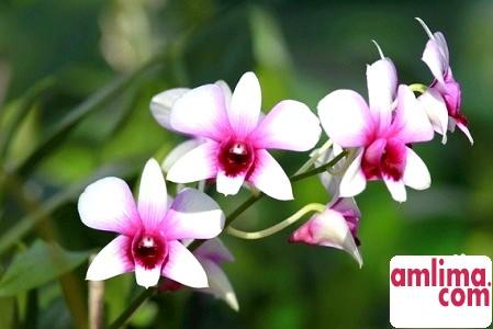 Як пересадити орхідею фаленопсис? Кілька ключових правил