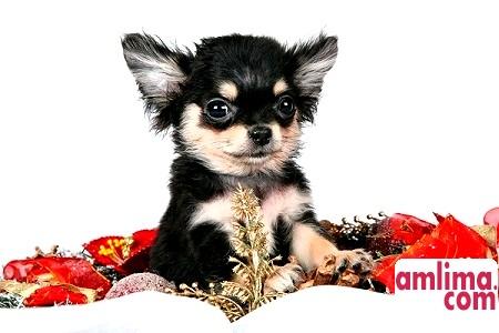 Породи декоративних собак - любов і відданість в мініатюрі