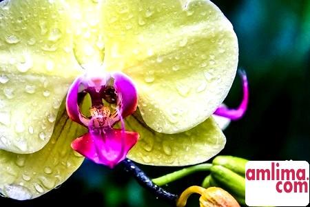 Красуня орхідея: догляд в домашніх умовах