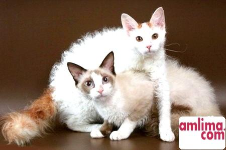 Ла перм, або Кішки з кучериками