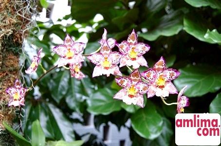 Орхідея камбрія - вирощування в домашніх умовах