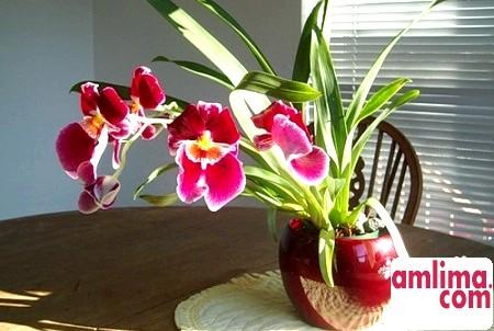 Орхідея Мільтонія у вашому будинку