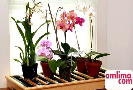 Орхідея в горщику: основні особливості догляду
