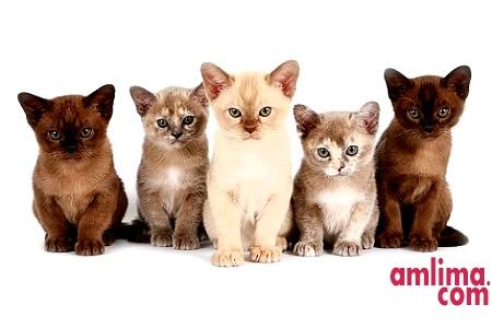 Породисті кішки. Яку вибрати?