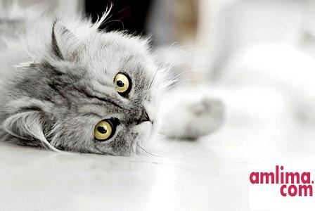 Ознаки вагітності у кішок: поведінка і зовнішність