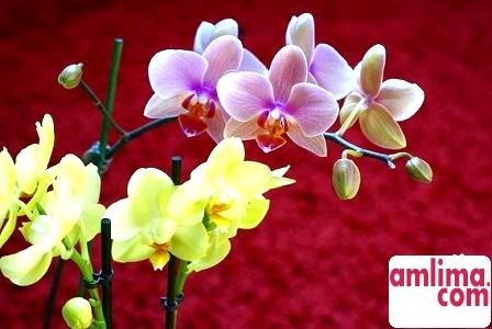 чому у орхідеї опадають квіти