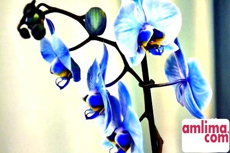 Синя орхідея: що ховається за маскою?