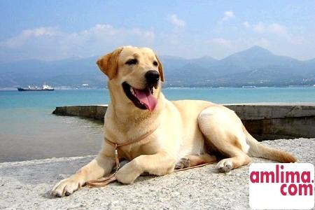 Собака породи лабрадор - ідеальний друг і помічник людини