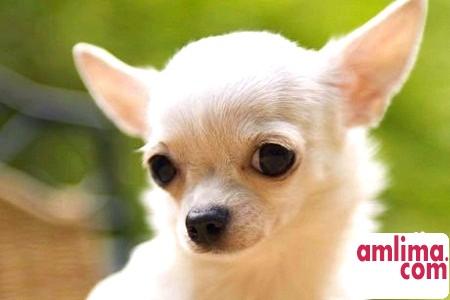 Собаки чихуахуа - данина моді чи ідеальний компаньйон?